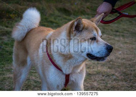 Happy Japanese Akita on leash close up