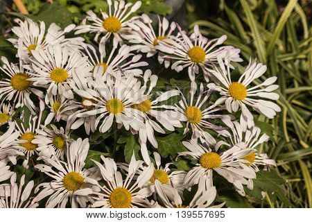 close up of pink daisy chrysanthemum flowers