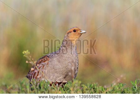 gray partridge sits on the roadside roads, photo to determine bird hunting