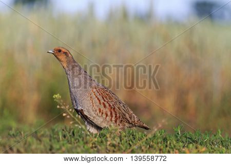 gray partridge tread carefully on the road, hunting bird, caution, stealth, accuracy