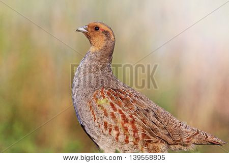 Grey partridge with a valid counter, bird hunting character, wild bird, animal with sunny hotspot