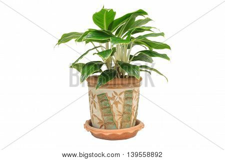 Houseplant in the pot isolated on white