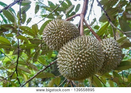 Fresh three durian in the orchard, leaves