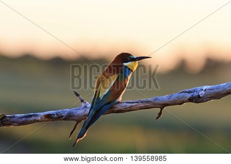 Vivid bird in the rays of the sunset, Silhouette , bee eaters, european bee eaters, bird on branch,