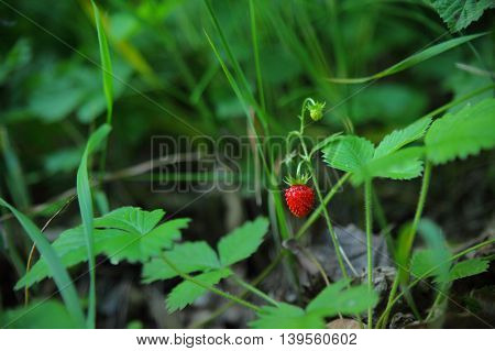 A closeup shot of a wild strawberry, also called woodland/Alpine or European strawberry. A little above there is another, unripe one.