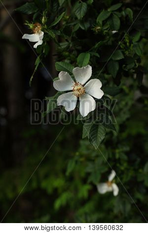Flowers and leaves of a Rosa corymbifera. The Rosa corymbifera differs from the popular Rosa canina; The Rosa corymbifera has bigger flowers, less thorns and the leave's underside are hairy.