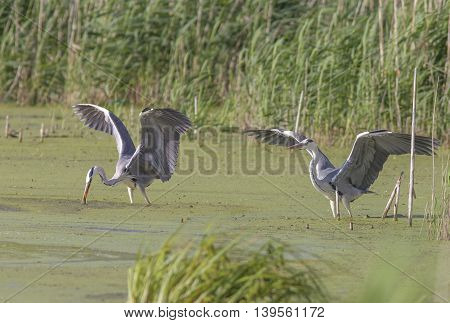 beautiful herons swim in the swampy water and catch fish