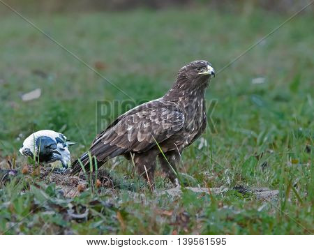 a beautiful hawk sitting in a field looking for prey