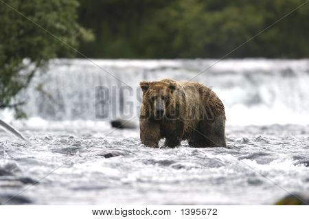 Brown Bear Walking Down From The Falls