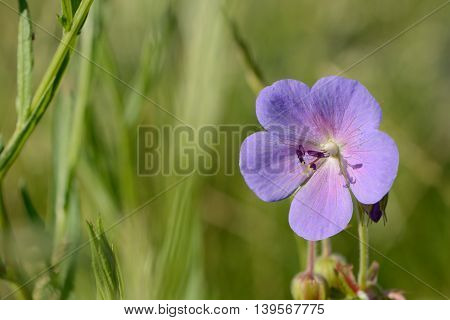 the closeup of blue flower with green background
