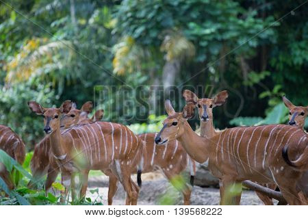 Gentle Nyala antelopes in the nature background