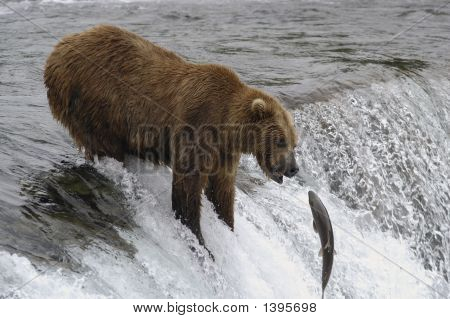 Brown Bear Trying To Catch Jumping Salmon