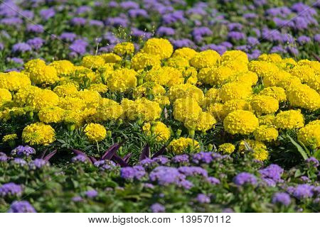 Yellow chrysanthemums growing in the flowerbed. Flowers