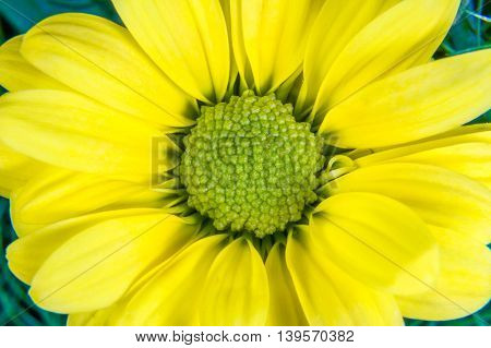 Yellow Flower With A Green Middle