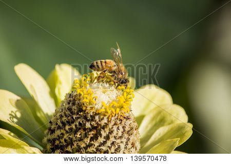 Close up shot of a bumble Bee on a Flower Collecting Pollen