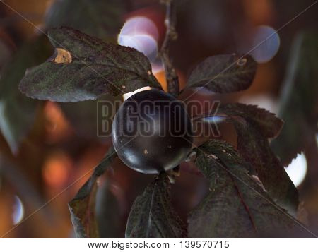 Plum in a tree. Dark red leaves and dark purple fruit.