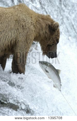 Brown Bear Watching Salmon Jump