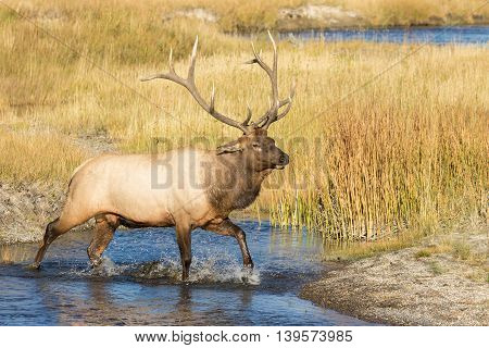 a bull elk crossing a stream during the fall rut