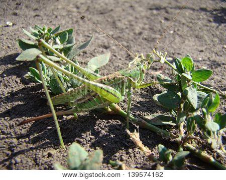 female grasshopper is green,a kind of locust