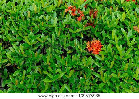 red flower spike Rubiaceae flower with green leaves background