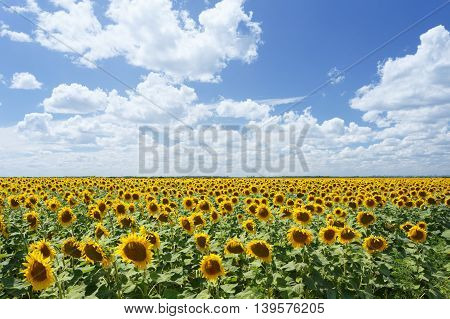 Field of sunflowers under blue sky and white clouds