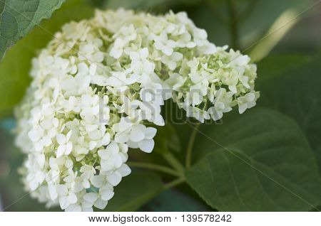 Flower white spherical hydrangeas growing in the shade of the house