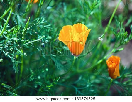 Summer field with orange flowers