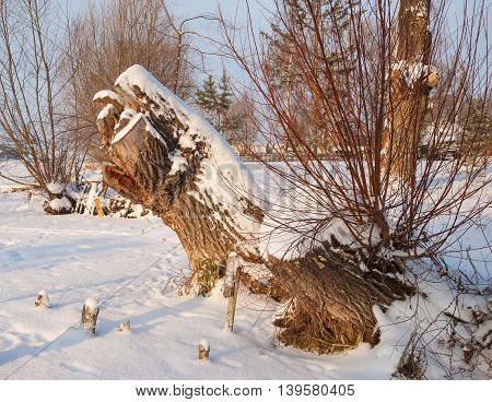The Tree stump in the winter forest