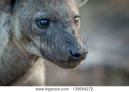 Side Profile Of A Spotted Hyena In The Kruger.