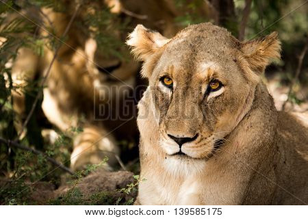 Lioness Looking At The Camera.