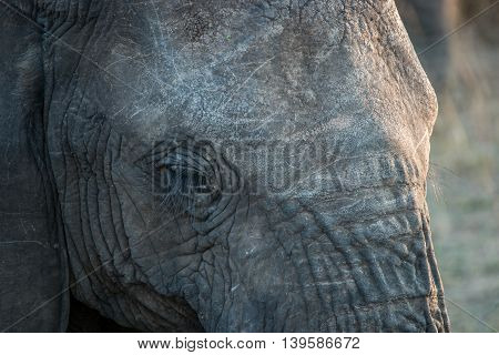 Close Up Of An Elephant Eye In The Kruger National Park.