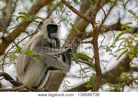 Grey Langur in thinking style at the Chinnar Wildlife Sanctuary, Marayoor, Kerala, India