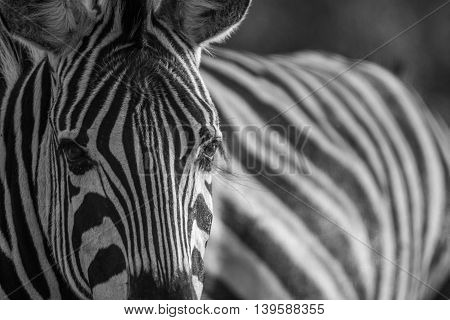 Close Up Of A Zebra Head In Black And White.