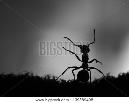 Silhouette of ant at sunset. Black and white colors. Macro.