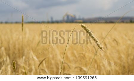 Close up of crops in a field on a sunny day