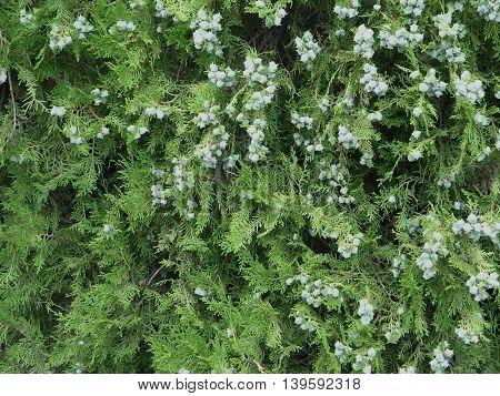 Tuya. Precioso arbusto de poca altura. Ornamental. Apreciado en jardinería y da mucha sombra. lorece en primavera.