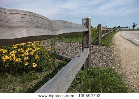 Black Eyed Susan behind wooden fence beside pathway
