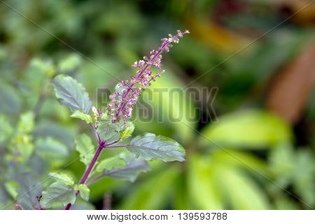 Tulsi or The Holy Basil flower with blurred leaves, Kerala, India