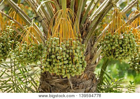 Bunches of unripened Dates in a Date palm tree in Bahrain - a close shot
