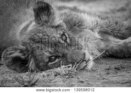 A Lion Cub Laying Down And Starring In Black And White.