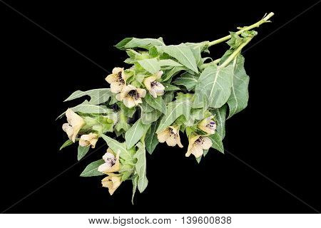Poisonous plant henbane black (Hyoscyamus niger) isolated on black. In herbal medicine is used as a medicinal plant
