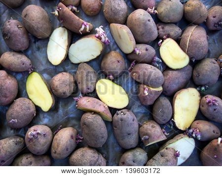 Potato tubers dry out after the treatment of diseases before planting