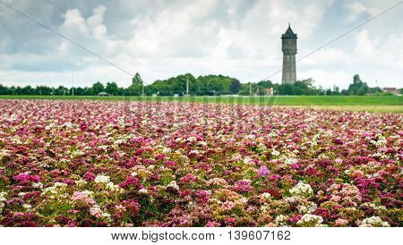 Sweet William or Dianthus barbatus plants blooming in a variety of colors on a cloudy and rainy day in a large field at the edge of a small Dutch village.