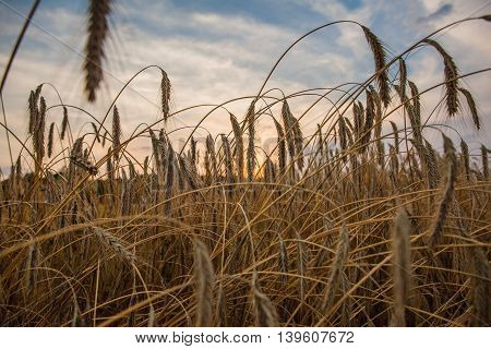 Wheat fields with sunset and blue sky