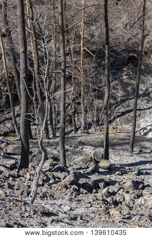 Burned Trees Following A Forest Fire In Troodos,cyprus
