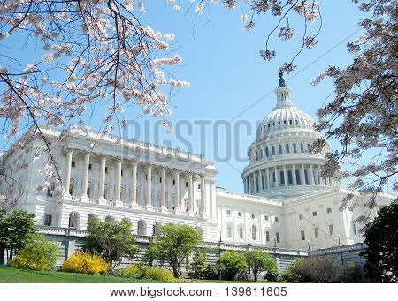 Cherry Blossoms near Capitol in Washington DC USA