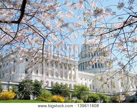 Cherry Blossoms in front of the Capitol Building in Washington DC USA