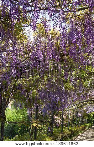 Blooming wisteria tunnels of Bardini gardens(Giardini Bardini) in Florence, Italy.