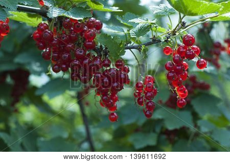 Berries ripe red currant grows on a bush in July