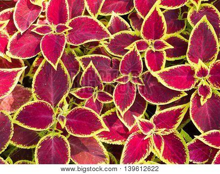 Red Coleus Plants Closeup